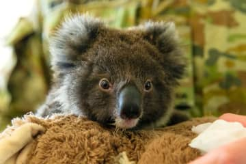 Plea for New Zealand to house fire-threatened koalas